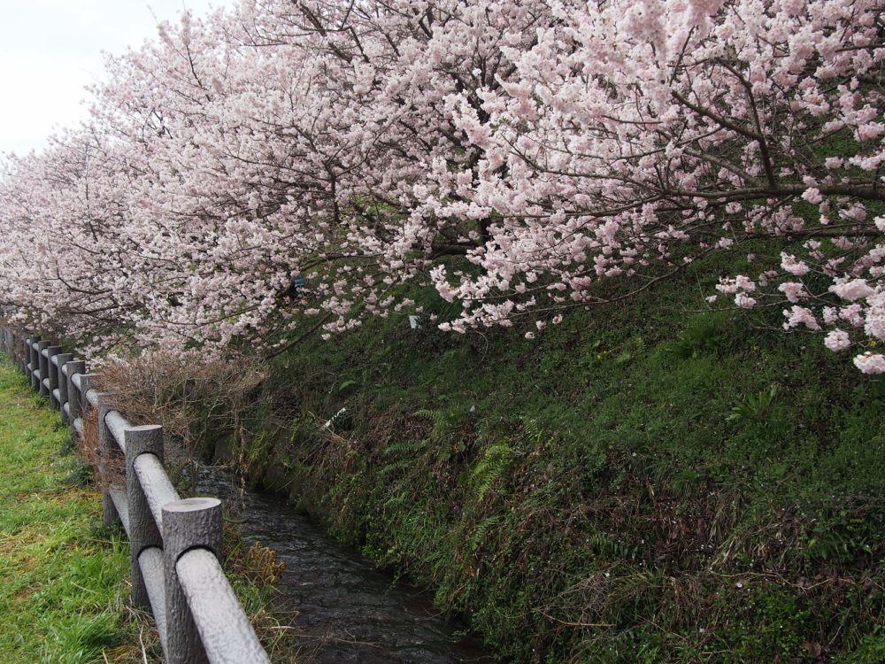 一の堰ハラネの春めき桜