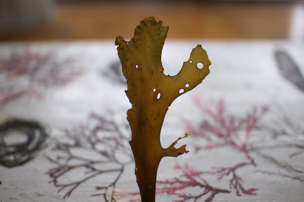 海藻おしば