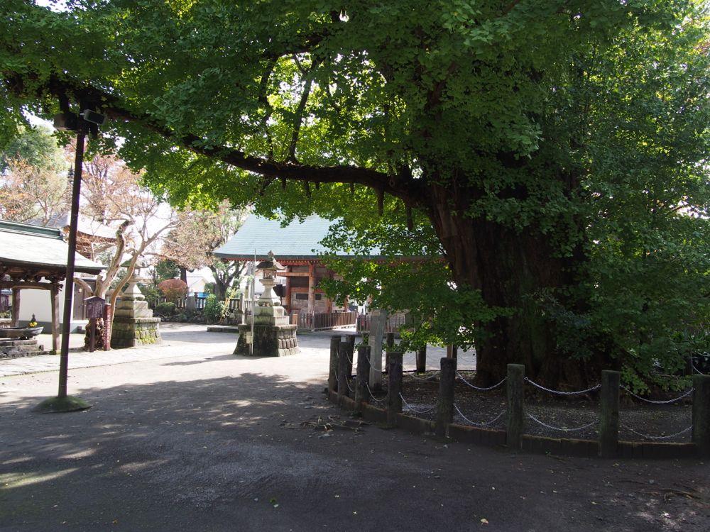 大イチョウの木