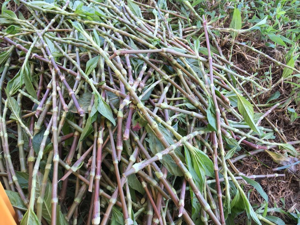 乾燥葉作り